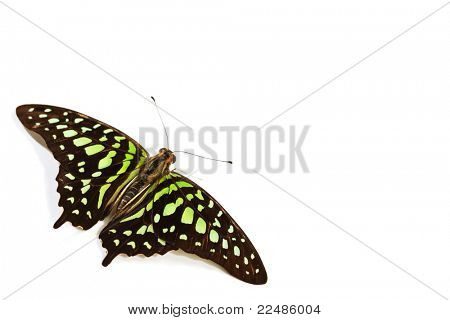Graphium isolated on white