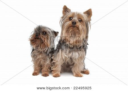 Two Yorkshire Terrier Dogs