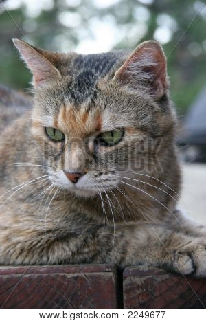Tiger Cat With Green Eyes