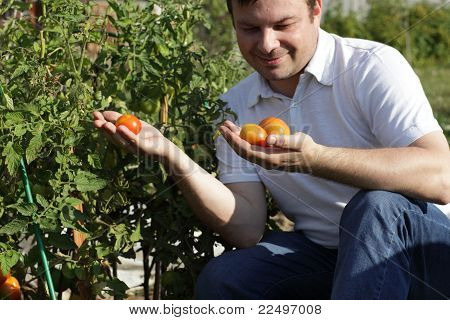 Man Inspectes Tomatoes