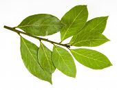 stock photo of bay leaf  - branch of bay leaves isolated on white - JPG