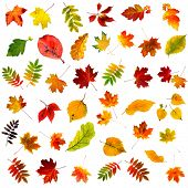 big collection beautiful colourful autumn leaves isolated on white background