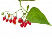 picture of belladonna  - nightshade plant with red berries isolated over white  - JPG