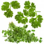 Fresh cilantro coriander leaves with drops of water