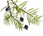 picture of juniper-tree  - Branch of juniper with berries isolated on white - JPG