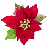 picture of christmas flower  - red christmas flower isolated on a white background - JPG