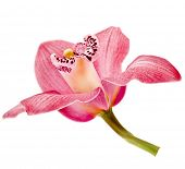 picture of white flower  - pink Orchid flower on white background - JPG