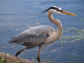 picture of hernia  - Blue Heron photographed at distance of 5 - JPG