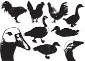 Domestic Birds.farm Animals poster