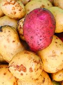 pic of solanum tuberosum  - Newly harvested potatoes  - JPG