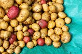 stock photo of solanum tuberosum  - Newly harvested potatoes  - JPG