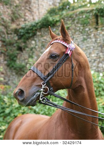 Thoroughbred Horse In Double Bridle