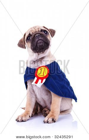 cute little pug puppy dog champion sitting on white background and looking up to something