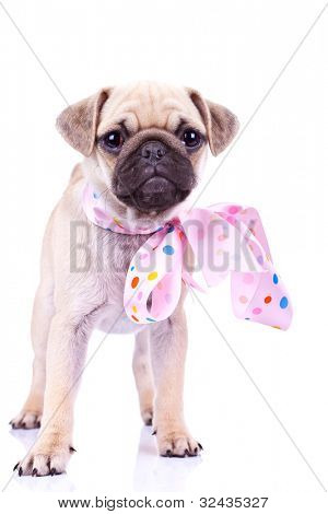 cute mops puppy dog wearing a pink ribbon at its neck, standing on white background