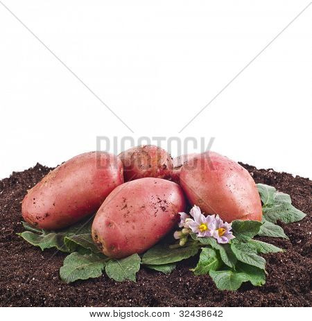 fresh potato with soil isolated on white background