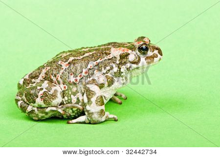 Bufo viridis. Green toad on green background. Studio macro shot.