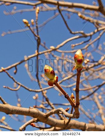 Buds Of The Tree