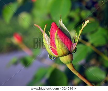 Rosebud With Reflections In Dew Drop