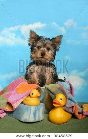 Yorkie pup in a bath tub