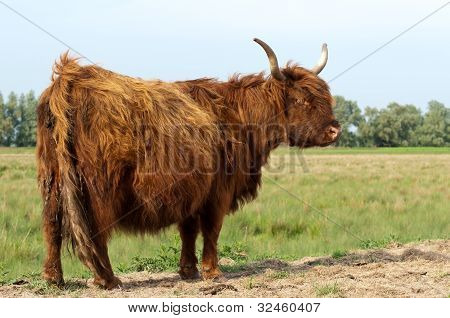 Red Higland Cow With Winter Fur