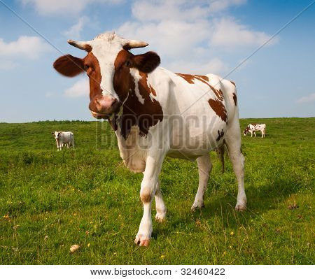 Red And White Spotted Cow In A Dutch Landscape