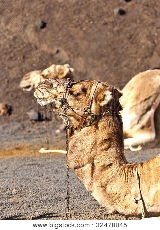 Kamele im Timanfaya Nationalpark warten auf Touristen für eine geführte Tour