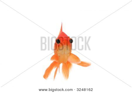 Funny Goldfish With Big Eyes