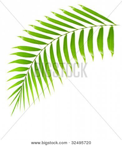Fresh palm tree branch isolated over white background with text space, plant of tropical beach,  green leaves frond, floral decorative summer border