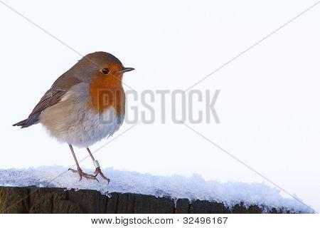 Robin (Erithacus Rubecula) in snow