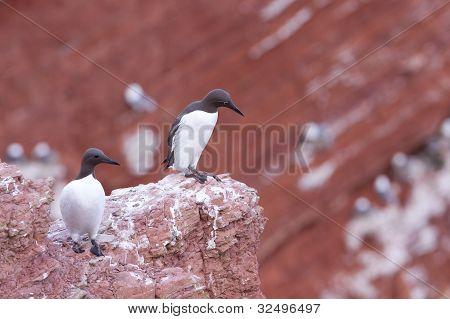 Guillemots standing on a cliff