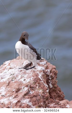 Guillemot on a cliff