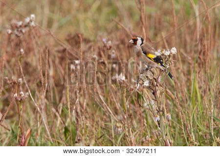 Male goldfinch in a field