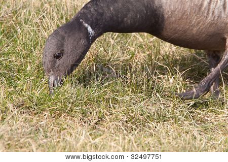 Brent goose branta bernicla) is eating grass