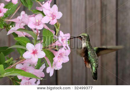 Ruby-throated Hummingbird And Honeysuckle