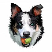 New Zealand Heading Dog, Poster Digital Art. Isolated Waterclor Portrait Of Puppy Holding Ball In Te poster