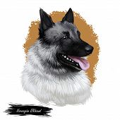 Norwegian Elkhound, Domestic Mammal Of Spitz Type Digital Art. Isolated Watercolor Portrait, Dog Ori poster