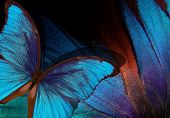 Bright Tropical Background. Colorful Wings Of Tropical Butterflies Texture Background. Morpho Blue B poster
