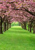 Cherry Blossom In A Park Of Copenhagen Denmark poster