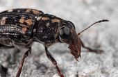 Macro Photography Of Weevil Beetle Or Snout Beetle On The Floor poster