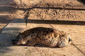 Pregnant Hyena Sleeping On Sunny Enclosure. Animal Welfare In Zoo. African Predator Or Scavenger Ani poster