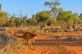Red Kangaroo, Macropus Rufus, Jumping Over Red Sand Of Outback Central Australia In The Wilderness.  poster