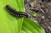 picture of millipede  - black and yellow millipede on green leaf - JPG