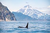 Killer Whales In Kamchatka. Killer Whales In The Wild Against A Landscape With Volcanoes poster