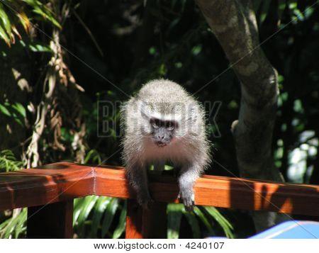 Angry Vervet Monkey