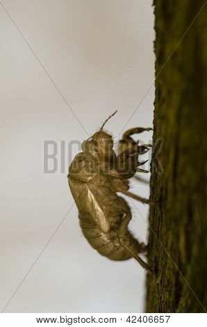 Cicada Cuticle Or Exuviae