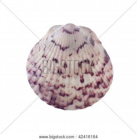 Seashell Isolated On White Backgroud