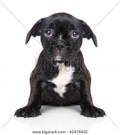 Sad Puppy Of French Bulldog