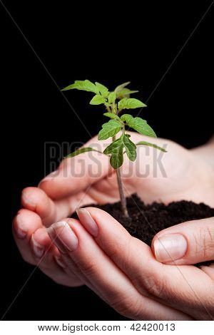 Young Tomato Seedling In Woman Hand