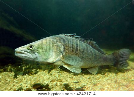 Underwater photo of The Pike Perch (Sander Lucioperca).
