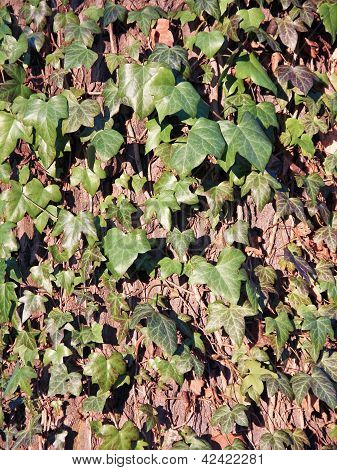 Ivy Climbing At An Old Oak, Hedera Helix